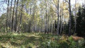 Enrolle las hojas amarillas que soplan de árboles en el bosque en otoño almacen de metraje de vídeo