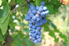 Enroulement de raisin. Images stock