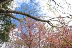 Enroulez la cerise ou les cerasoides ou Sakura de l'Himalaya de prunus Photographie stock