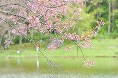 Enroulez la cerise ou les cerasoides ou Sakura de l'Himalaya de prunus Images stock