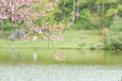 Enroulez la cerise ou les cerasoides ou Sakura de l'Himalaya de prunus Photo stock