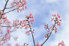 Enroulez la cerise ou les cerasoides ou Sakura de l'Himalaya de prunus Images libres de droits