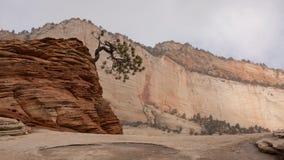Enroulez le pin arrêté un jour neigeux froid d'hiver en Zion National Park Image libre de droits