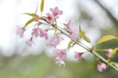 Enroulez les cerasoides de l'Himalaya de cerise ou de prunus, Sakura Image stock