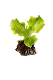 Ensalada de la planta de semillero Fotos de archivo libres de regalías