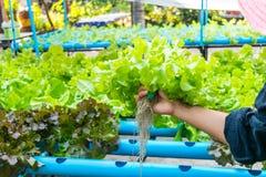 Ensalada de la verdura del hidrocultivo Fotografía de archivo libre de regalías