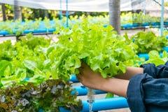 Ensalada de la verdura del hidrocultivo Imagen de archivo libre de regalías