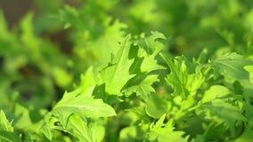 Ensalada fresca del primer de la ensalada del Arugula almacen de video