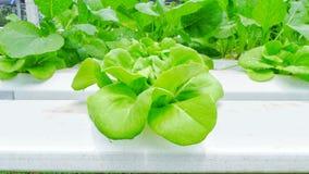 Ensalada verde de la cabeza de la mantequilla en granja orgánica fotografía de archivo