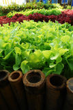 Ensalada verde fresca de la lechuga Imagen de archivo