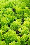 Ensalada verde fresca de la lechuga en el jardín Fotografía de archivo