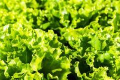 Ensalada verde madura fresca Fotografía de archivo