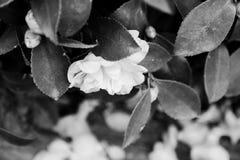 Ensam är svartvit flowersï¼› Royaltyfri Foto