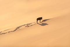 Ensam åsna och litet stycke av busken, Sahara royaltyfri foto