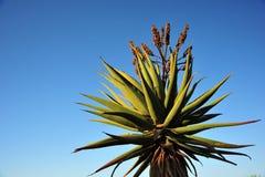 Ensam Aloe Royaltyfria Bilder