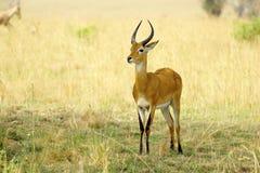 Ensam antilop Royaltyfri Bild