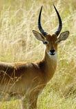 Ensam antilop i Afrika arkivfoton