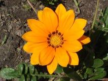 Ensam apelsin med den bruna bandgazaniablomman Royaltyfri Foto