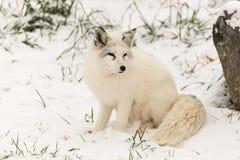 Ensam arktisk räv i en vintermiljö Arkivbilder