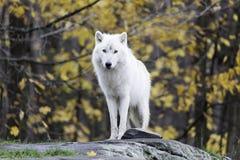 Ensam arktisk varg i en nedgång, skogmiljö Arkivfoton