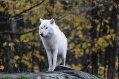 Ensam arktisk varg i en nedgång, skogmiljö Arkivfoto