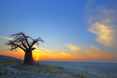Ensam Baobabsolnedgång Royaltyfri Foto