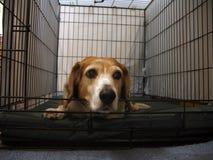 ensam beagle Arkivfoton