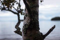 Ensam björk på kusten Royaltyfria Bilder