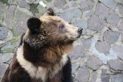 Ensam björn Royaltyfri Fotografi