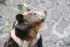 Ensam björn Arkivbild