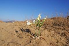 Ensam blomma i öknen Arkivfoton