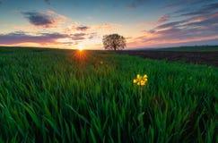 Ensam blomma och ett träd i ett grönt fält av gräs Royaltyfria Bilder