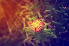 Ensam blomma på sunris, Abstarct hoppbakgrund Royaltyfri Bild