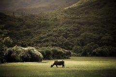 Ensam buffel Royaltyfri Bild