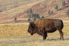 Ensam buffel i Custer Park royaltyfria foton
