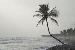 Ensam cocnutpalmträd Arkivbild