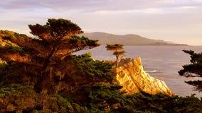Ensam cypress Monterey arkivbild