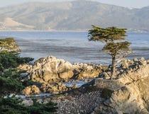 Ensam cypress på 17en-Miles-Drive i Kalifornien Royaltyfri Fotografi
