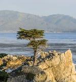 Ensam cypress på 17en-Miles-Drive i Kalifornien Arkivfoton