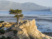 Ensam cypress på 17en-Miles-Drive i Kalifornien Royaltyfri Bild