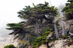 Ensam cypress Pebble Beach arkivfoto