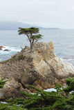 Ensam cypress, Pebble Beach, Kalifornien Arkivfoto