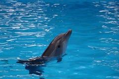 Ensam delfin i vatten Fotografering för Bildbyråer