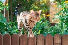 Ensam det fria för Bengal kattunge på ett trästaket Royaltyfri Bild