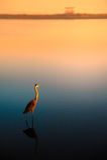Ensam egret på solnedgången Arkivbilder