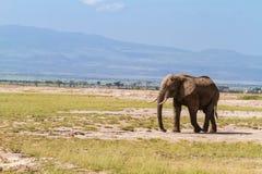 Ensam elefant i savannet kenya Royaltyfria Foton