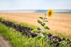 Ensam enkel solros på kanten av den lantliga grusvägen Royaltyfria Bilder