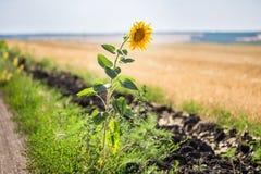 Ensam enkel solros på kanten av den lantliga grusvägen Royaltyfri Fotografi
