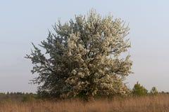 Ensam ensam abloom blomning som blomstrar ängen för fält för blomningpäronträd Arkivbilder