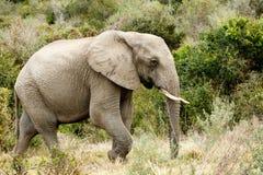 Ensam ensam afrikanBush elefant som söker efter vatten Arkivbild